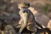 Baboon baby (mayekarulhas) Tags: krugerpark mpumalanga southafrica za baboon baby canon canon500mm wildlife wild