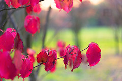 Red Leaves (Fil.ippo) Tags: red rosso filippobianchi foglie leaves autunno d610 nikon colors autumn filippo nature natura colori fall cornus