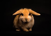 PetPhoto-1 (Bernard Brunet) Tags: bunny ginger mooky rabbits