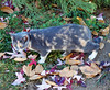 Cat in the Leaves, Oak Glen, CA 11-17 (inkknife_2000 (8.5 million views +)) Tags: oakglenca appleorchards harvest fallcolors foliage earlyamericana trees farms clouds mountains fall usa america dgrahamphoto snowlineorchards countryroads cat feline dappledcat fallenleaves
