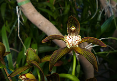 Cymbidium tracyanum 'Citron Sunray' species orchid (nolehace) Tags: fall nolehace sanfrancisco fz1000 flower bloom plant cymbidium tracyanum citron sunray species orchid 107 cultivar fragrant