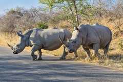 White rhinos crossing road 2 (NettyA) Tags: 2017 africa krugernationalpark southafrica safari travel wildlife animal rhino rhinoceros whiterhinoceros ceratotheriumsimum crossing road