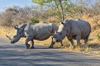 White rhinos crossing road 2