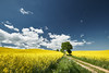 Lonely Tree (PeterJot) Tags: spring field agriculture countryside poland pomorskie sun rapeseed growth road tree lonely scenic sky cloud grass beautiful landscape