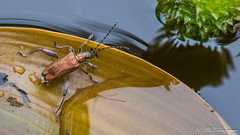 Vitakuoriainen (Olli_Pihlajamaa) Tags: animalia arthropoda chrysomelidae chrysomeloidea coleoptera cucujiformia donacia donaciaversicolorea donaciinae hexapoda insecta invertebrata polyphaga eläinkunta erilaisruokaiset hyönteiset kovakuoriaiset kuusijalkaiset lehtikuoriaiset lehtikuoriaismaiset niveljalkaiset ruokokuoriaiset selkärangattomat vitakuoriainen