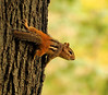 King Of The Munk World (LupaImages) Tags: chipmunk critter tree climbing fur face stripes cute animal wild wildlife nature autumn fall september bark