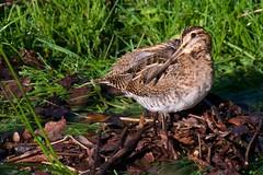 Snipe (Explored 14-12-17) (redmanian) Tags: snipe bird ianredman