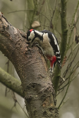 GREATER SPOTTED WOODPECKER (_jypictures) Tags: animalphotography animals animal canon7d canon canonphotography wildlife wildlifephotography wiltshire nature naturephotography photography pictures birdphotography bird birds birdwatching birding birdingphotography birders woodpecker
