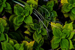 kusa (N.sino) Tags: m9 summilux50mm weed leaves plant kamakura 鎌倉 稲村ガ崎 草 雑草 葉っぱ 枯れ草