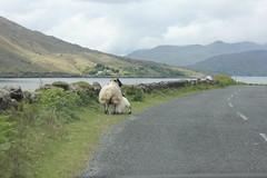 IMG_3279 (avsfan1321) Tags: ireland killaryfjord countygalway countymayo connemara wildatlanticway fjord lake water sheep