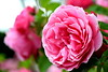 (Roi.C) Tags: nature outdoor flowers flower roses rose nikkor nikon nikond5300 macro hdr bright garden pink