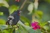 Lesser Antillean Bull Finch (ronmcmanus1) Tags: antigua bird caribbean nature outdoors wildlife jollyharbour stmarysparish antiguabarbuda