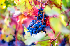 Cabernet Dreams (George Oze) Tags: california agriculture beautyofnature bluegrapes bunchofgrapes cabernetsauvignon closeupview colorful daytime dreamy fall fineart fruitcolorful grapeonthevine harvest horizontal leaves napavalley northamerica onthevine outoffocus outdoors redgrapes ripe scenic selectivefocus usa vineyard vineyards vivid winecountry winemaking rutherford unitedstatesofamerica us
