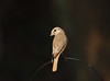 daurian shrike, Lanius isabellinus (ammadoux) Tags: lanius isabellinus laniusisabellinus daurianshrike isabellineshrike jeddah jeddahbirds ammadoux