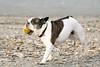 Just happy (Rik Verhoeven Amsterdam) Tags: rikverhoeven dog happy nikkor beach blue dune enjoy fit free freedom friend golden health holiday joy nikon ocean outdoor pet sea