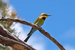 Rainbow bee-eater (Merops ornatus) (johnedmond) Tags: perth westernaustralia lakegwelup rainbow bee eater bird nature wildlife sel55210 55210mm ilce3500 sony