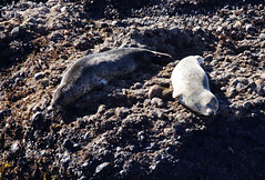 Harbor Seals (ashockenberry) Tags: seal big sur harbor nature naturephotography coast waves california mammal wildlife