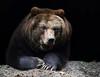 WINTERKUSCHELBÄR (babsbaron) Tags: nature tiere animals bär bear raubtier predator kamschatkabär wildpark lüneburg lüneburgerheide braunbär sibirisch sibirischerbraunbär