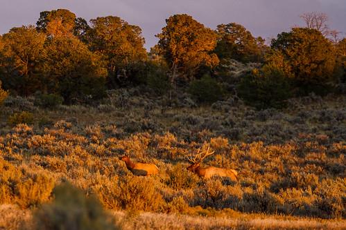 Wild Elk on Cedar Mesa