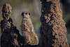 Meerkat Manor Sentry. (neil 36) Tags: meerkat suricata suricatta yorkshire wildlife park termite hill look out native habitat kalahari desert southern africa different alarm calls predators framed