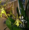 Brassidium Gilded Urchin 'Ontario' primary hybrid orchid 11-17 (nolehace) Tags: fall nolehace sanfrancisco fz1000 plant bloom flower brassidium gilded urchin ontario hybrid orchid 1117 fragrant primary