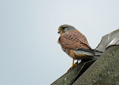 Kestrel - Falco tinnunculus (erdragonfly) Tags: falcotinnunculus