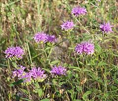 Plants_OB_496 (NRCS Montana) Tags: monarda fistulosa wild bergamot plants