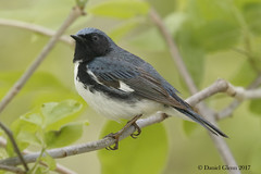 Black-throated Blue Warbler ♂ (danielusescanon) Tags: animal wild migration mageemarsh ohio blackthroatedbluewarbler male setophagacaerulescens passeriformes parulidae birdperfect perched