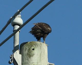Swainson's Hawk (Dark Morph), Buteo swainsoni