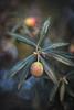Pendiente de oro. Gold earring. (Carlos García-Donas Fernández) Tags: aceite aceituna olivo oliva macro