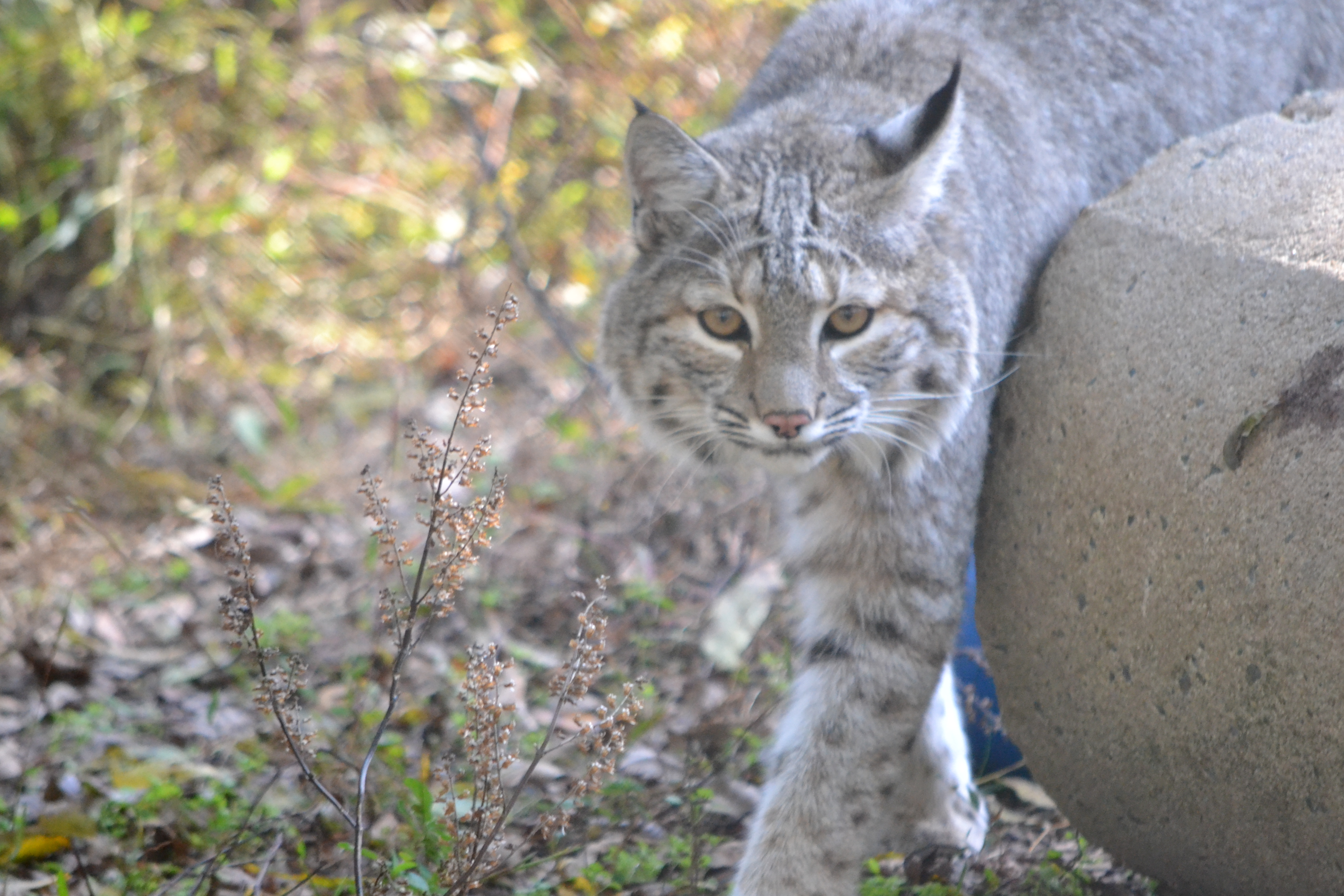 Show Me A Picture Of A Bobcat >> Show Me A Picture Of A Bobcat   New Car Release Information
