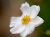 秋明菊 (Polotaro) Tags: mzuikodigital45mmf18 flower nature olympus epm2 pen 花 自然 オリンパス ペン シュウメイギク 10月 garden 庭