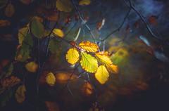 Backlit leaves (Dhina A) Tags: sony a7rii ilce7rm2 a7r2 minolta rf rokkorx 250mm f56 mirror reflex minolta250mmf56 md prime rokkor bokeh doughnut donut backlit leaves leaf autumn