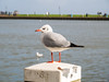 Seagull (✦ Erdinc Ulas Photography ✦) Tags: seagull zeemeeuw meeuw volendam nederland netherlands holland dutch harbour pole lake people focus