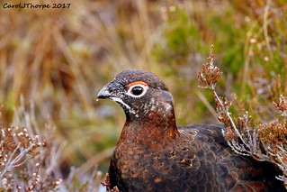 Red Grouse-Male