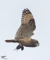 Single Handed (Short-Eared Owl) (The Owl Man) Tags: shortearedowl raptor estuary mouse vole prey nanaimo