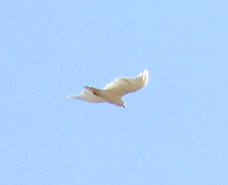 Leucistic Red-tailed Hawk in flight