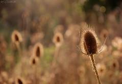 Symbiosis (HiJinKs Media...) Tags: life symbiosis light sun autumn webs regeneration lifecycle bokeh focus nikon d90 105mm day seasons seasonal autumnal spiders plant dry web closeup spikes points 7dwf flora