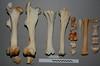 Hind limb (JRochester) Tags: horse equus ferus bone bones skeleton hind limb femur tibia tarsals phalanx sesamoid