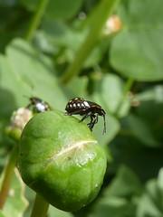 Bug on a bud (glcoote) Tags: southaustralian sa southaustralia gregcoote caper bug insect adelaidebotanicgarden