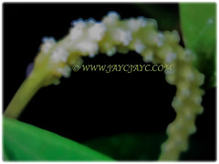 Tiny and unisexual flowers of Piper nigrum (jayjayc) Tags: flickr17 jaycjayc malaysia kualalumpur perennials vines pipernigrum tropicalplant vine floweringplants flowers blackpepper commonpepper peppervineplant whitemadagascarpepper ladahitam