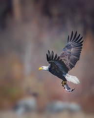 Lunch......! (MukeshPhoto) Tags: bald eagle conowingo dam fishing