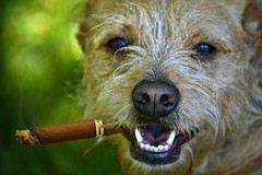 Gangster Style (swong95765) Tags: dog attitude cigar cute bokeh canine animal image