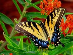 EasternTiger Swallowtail Butterfly. (~~BC's~~Photographs~~) Tags: bcsphotographs canonsxcamera easterntigerswallowtail butterfly closeups naturephotos butterflyweed inourgarden aroundthefarm kentuckyphotos outdoors flowers ourworldinphotosgroup earthwindandfiregroup explorekentucky