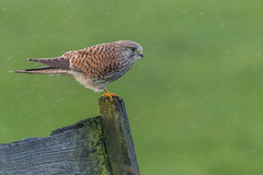 R17_9263 (ronald groenendijk) Tags: cronaldgroenendijk 2017 falcotinnunculus rgflickrrg animal bird birds birdsofprey groenendijk holland kestrel nature natuur natuurfotografie netherlands outdoor ronaldgroenendijk roofvogels torenvalk vogel vogels wildlife