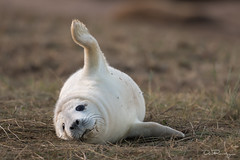 Monday Morning (DanRansley) Tags: britain danransleyphotography danransleynet donnanook england halichoerusgrypus lincolnshire uk animal beach coast greyseal mammal nature pinniped seal wildlife furry monday
