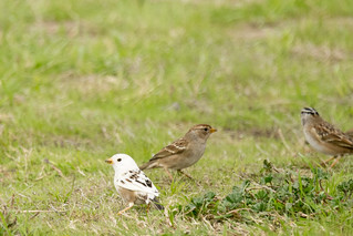 DSC_7973.jpg White-crowned Sparrows, Swanton Berry Farm