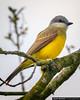 Tropical Kingbird Parque del Cafe Colombia (arainoffphoto) Tags: birding armenia travel kingbird bird park birds montenegro parquedelcafe tourism tropical colombia quindío co