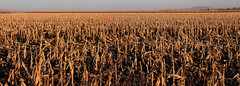 Harvest Home (arbyreed) Tags: arbyreed harvest corn cornstalks thanksgiving thanksgivingpoem cornharvest sunset husks thanks comeyethankfulpeoplecome twinfallsidhao