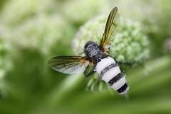 Fungus turns fly into a zombie (Henri Koskinen) Tags: entomophthora muscae fly deat fungus kärpäshome homesieni sieni fungi zombi zombie parasiitti parasite parasitic finland 17072017 kärpänen